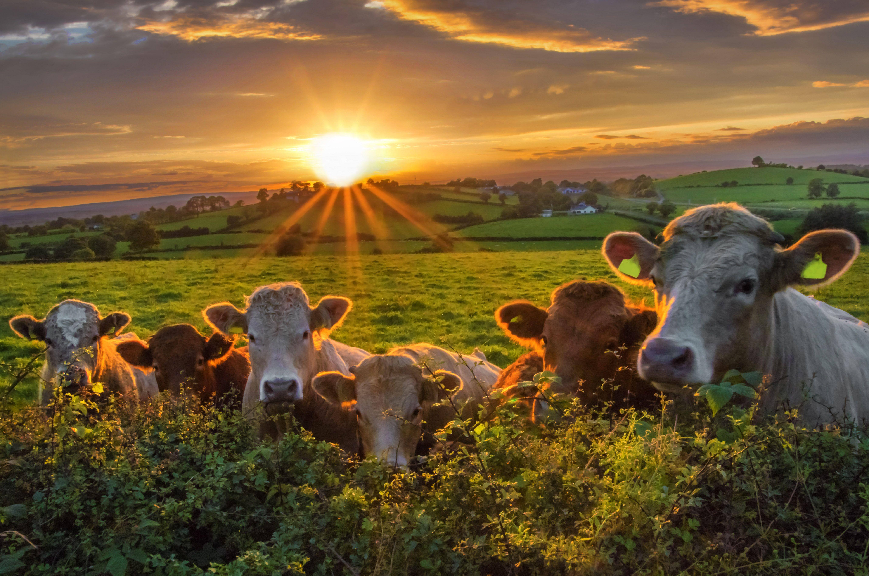 Dairy_farm_getty