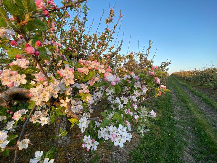 Featured_boyne_grove_fruit_farm_apple_blossoms