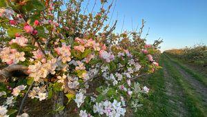 Thumb_boyne_grove_fruit_farm_apple_blossoms