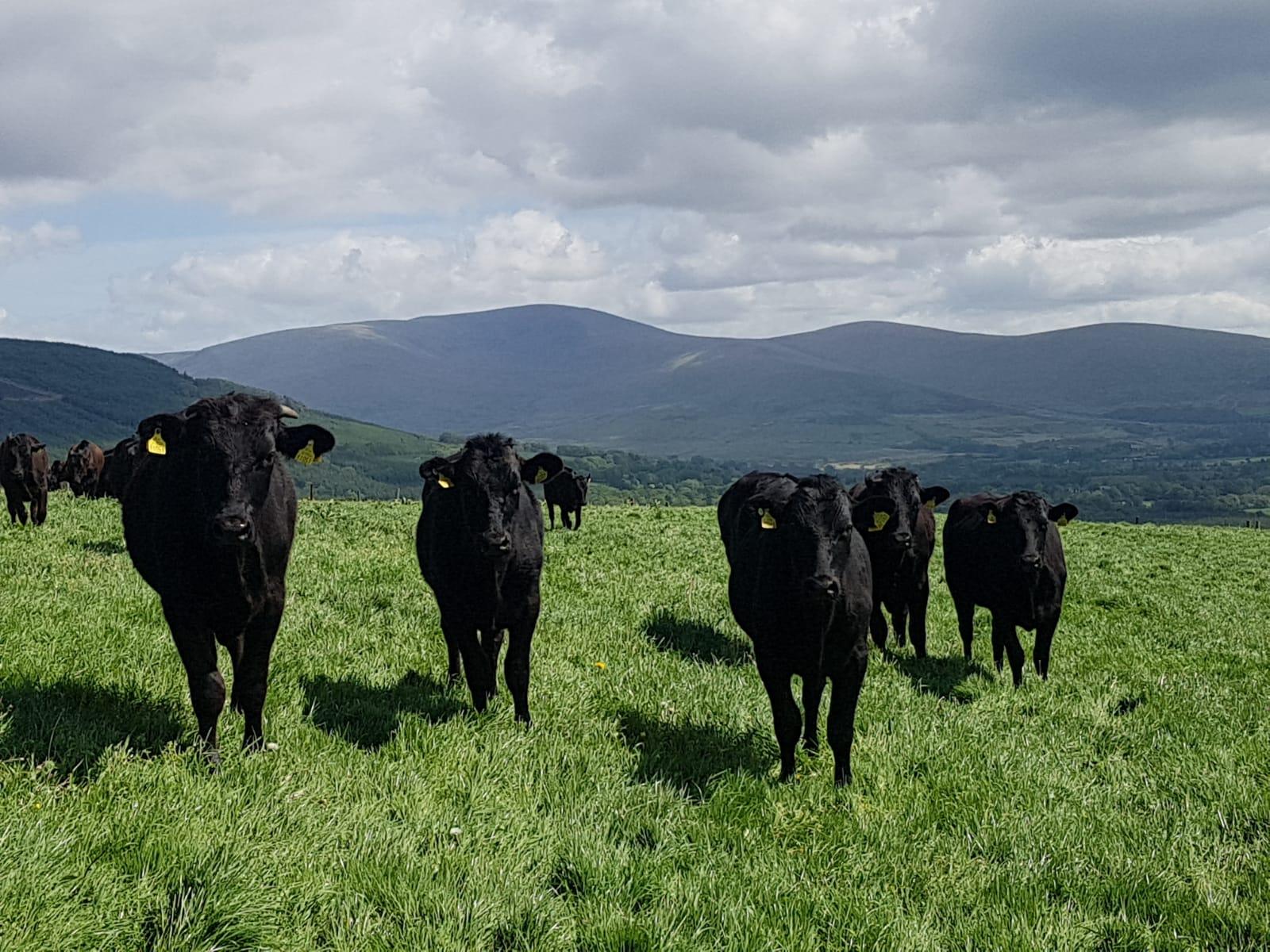 Wagyu cattle on Ridgeway farm.