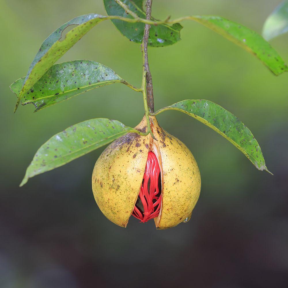 Nutmeg on tree. Getty Images